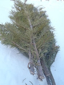 Boughs of fir