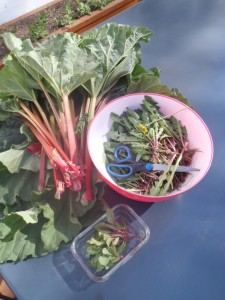 Dandelion and rhubarb from the yard.