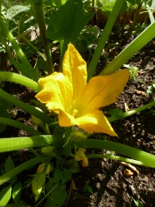 A squash blossom, still on the plant