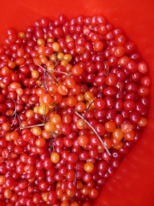 A tub of highbush cranberries, picked in the Edmonton river valley