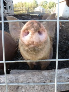 A pig at Jeff Senger's place, near Sangudo, Alberta