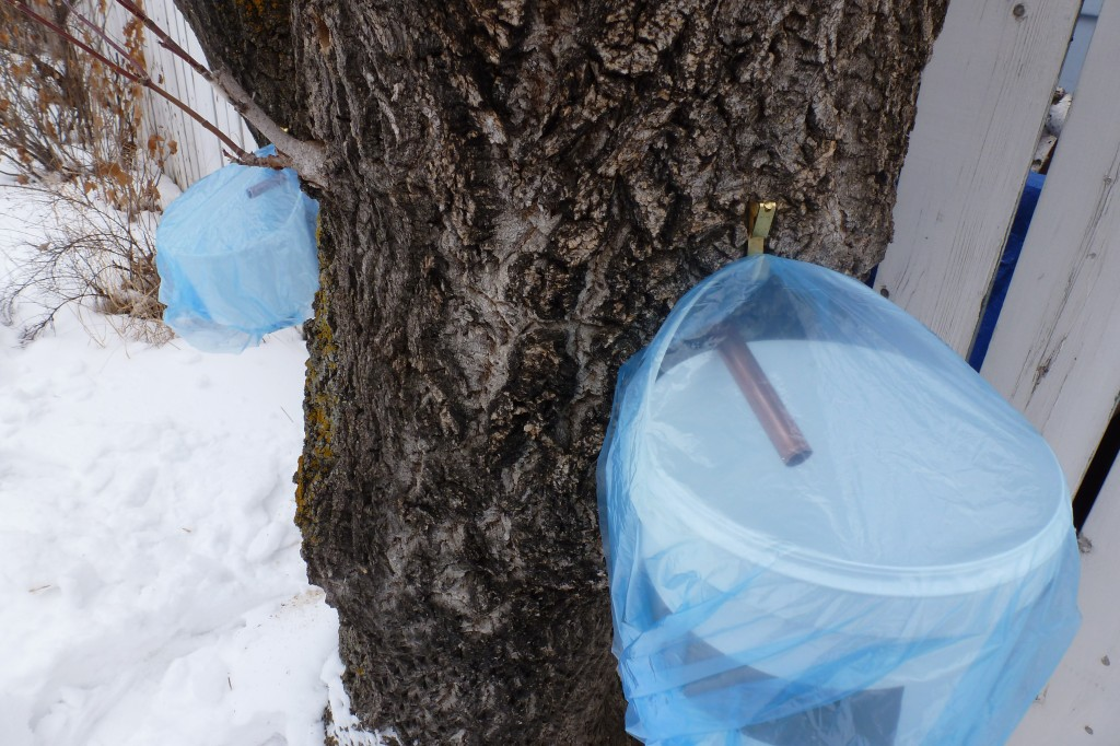 Two buckets awaiting maple sap