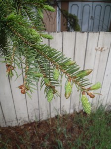 Spruce tips: the tender, young needles