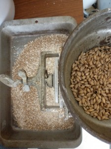 Grinding the malt into grist using an old-timey grain mill