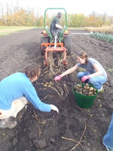 Harvesting potatoes at Tipi Creek