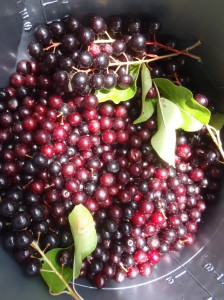 A bucket of chokecherries