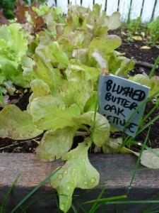 Blushed butter oak lettuce