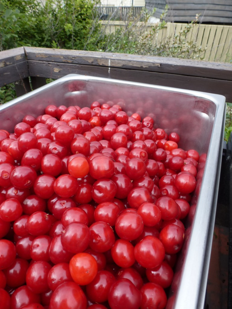 A tub of Evans cherries from a tree in Spruce Grove, Alberta.