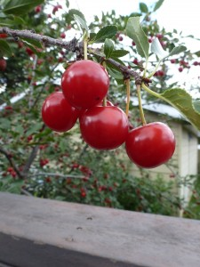 A cluster of Evans cherries, ready for the picking.