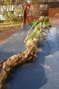 A large piece of horseradish root