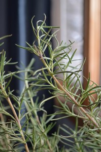 A large pot of rosemary drying indoors