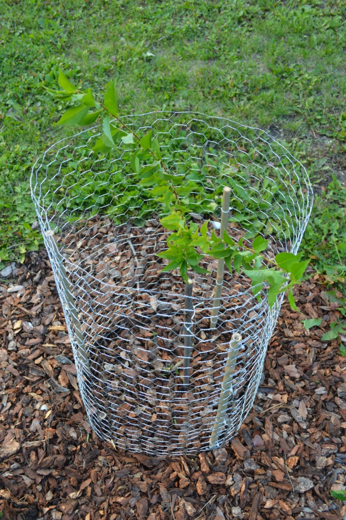 A wire cage protecting a young plum tree from jackrabbits