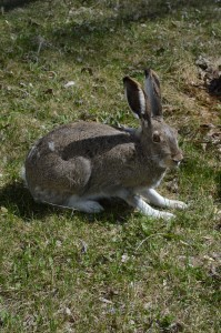 A hare hanging out in my backyard, waiting for my fruit shrubs to become vulnerable.