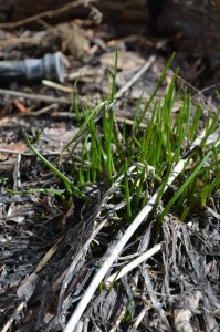 Chives emerging in early spring.