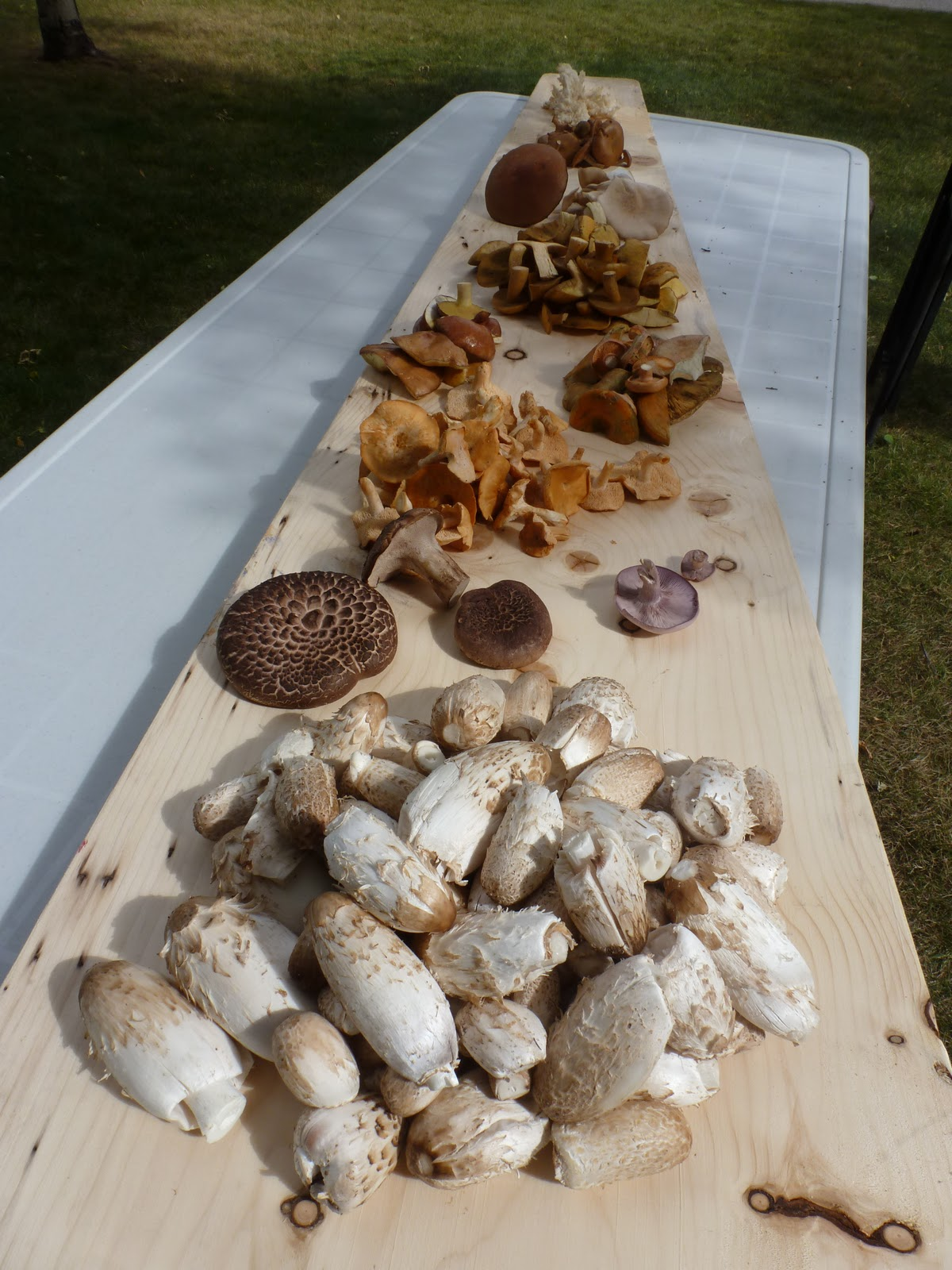 Some edible wild mushrooms from Alberta
