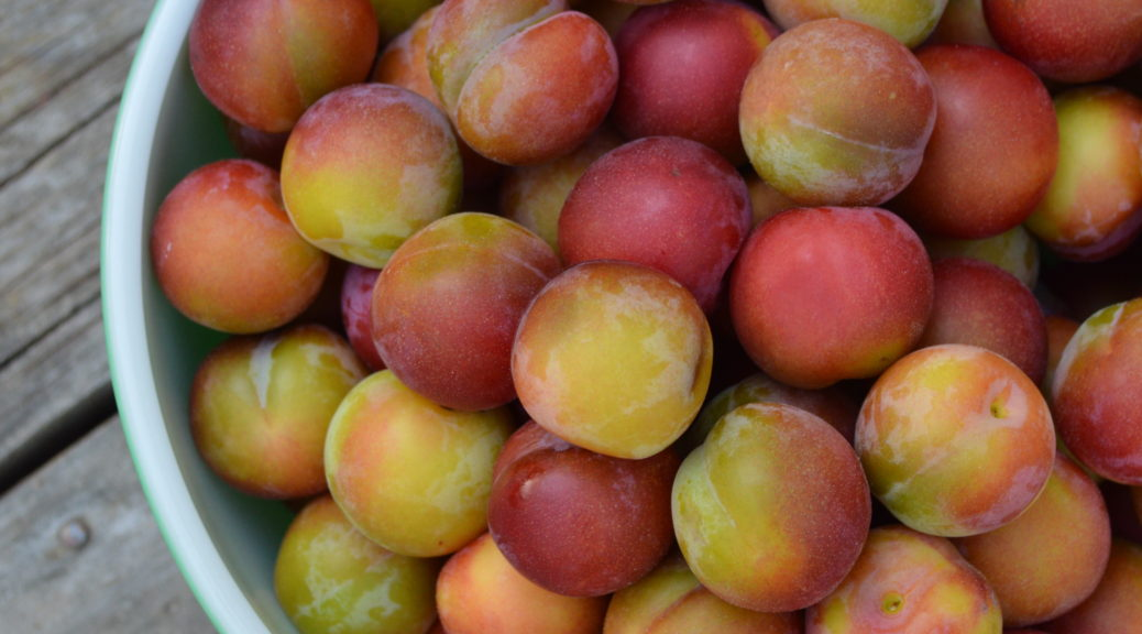 A bowl of nearly-ripe Ptitsin plums.